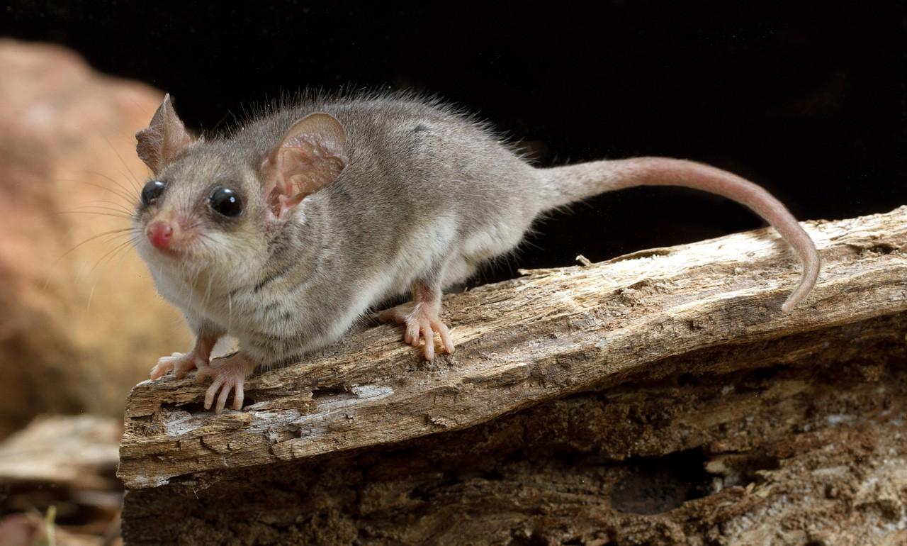 eastern pygmy possum - photo #21