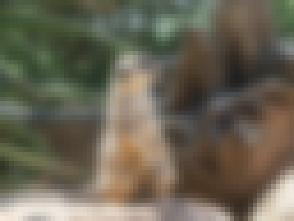 Halls Gap Zoo meerkat