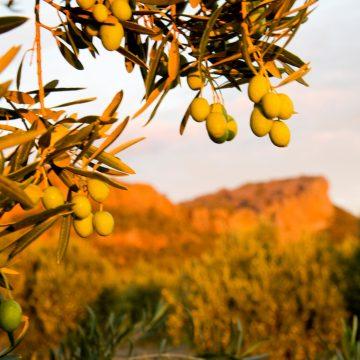 Olives-Laharum-Grove-Cu