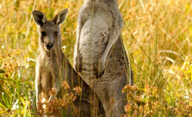 Eastern-Grey-Kangaroo-Macropus-Giganteus