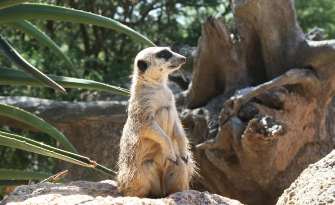 Halls-Gap-Zoo-Meerkat