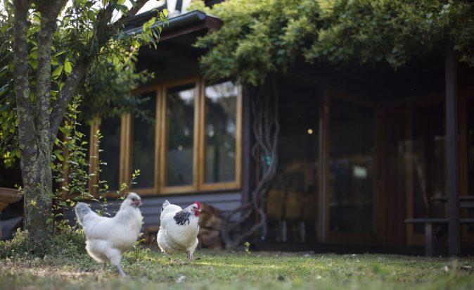 Rsz_Yha_Chickens