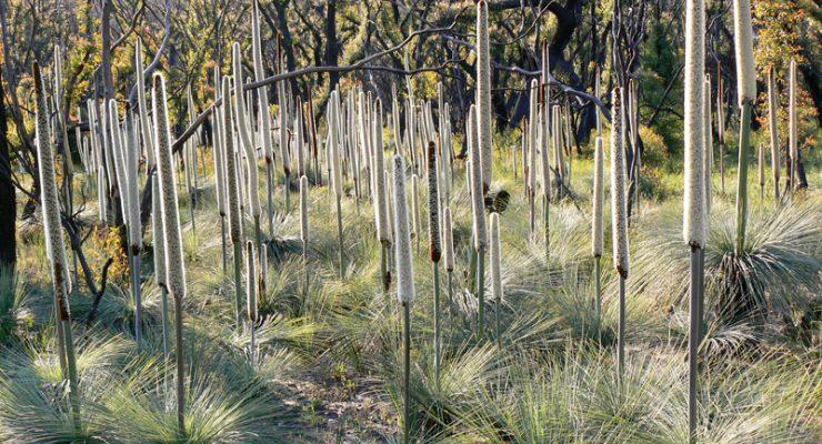 Austral-Grass-Tree-Xanthorrhoea-Australis