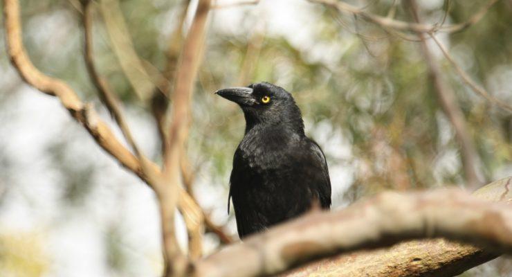 Australian-Raven-Corvus-Coronoides