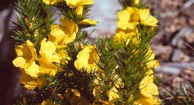 Bundled-Guinea-Flower-Hibbertia-Fasciculata