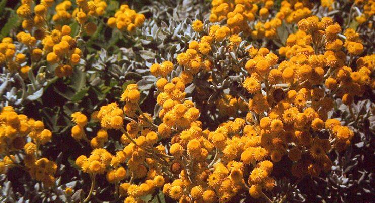 Common-Everlasting-Chrysocephalum-Apiculatum
