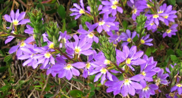 Common-Fan-Flower-Scaevola-Aemula