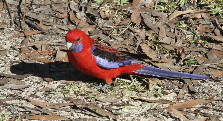 Crimson-Rosella-Platycercus-Elegans