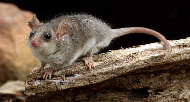 Eastern-Pygmy-Possum-Cercartetus-Nanus