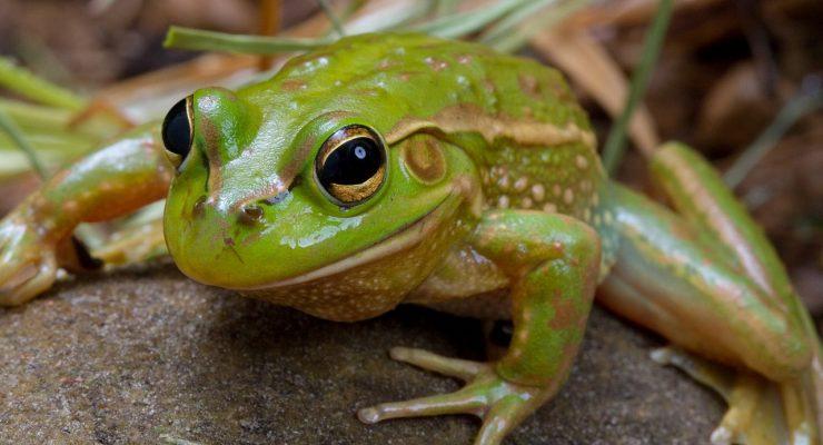 Growling-Grass-Frog-Litoria-Raniformis