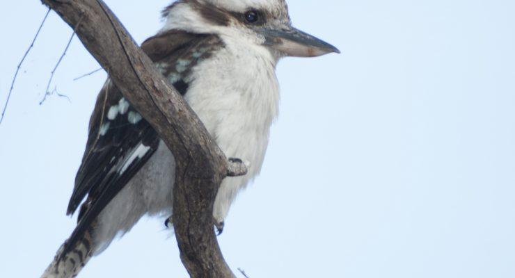 Kookaburra-Dacelo-Novaeguineae