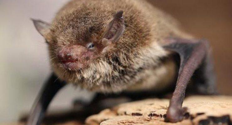 Little-Forest-Bat-Vespadelus-Vulturnus