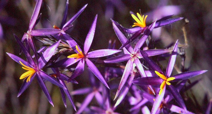 Tinsel-Lily-Calectasia-Intermedia