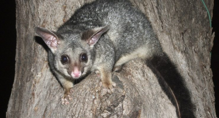 Common-Brushtail-Possum-Trichosurus-Vulpecula