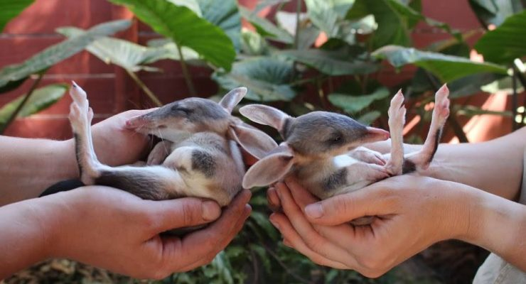 Halls-Gap-Zoo-Bilbies