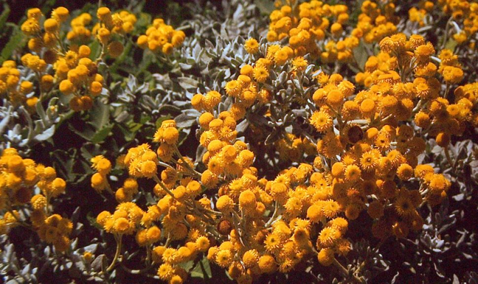 Common-Everlasting-Chrysocephalum-Apiculatum