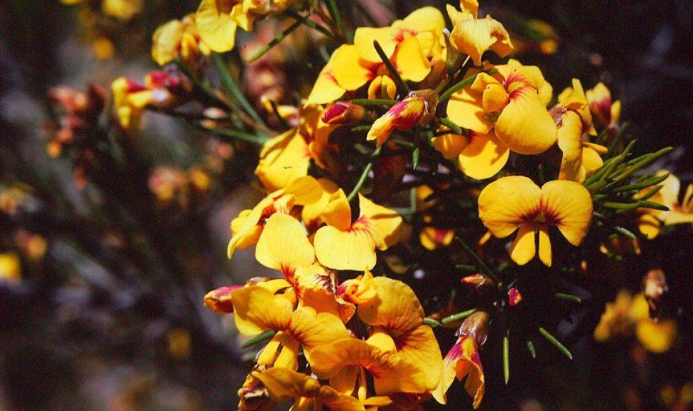 Grampians-Parrot-Pea-Dillwynia-Oreodoxa-2