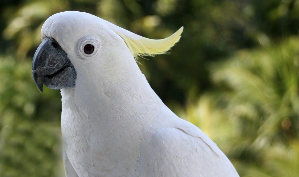 Sulphur-Crested-Cockatoo-Cacatua-Galerita