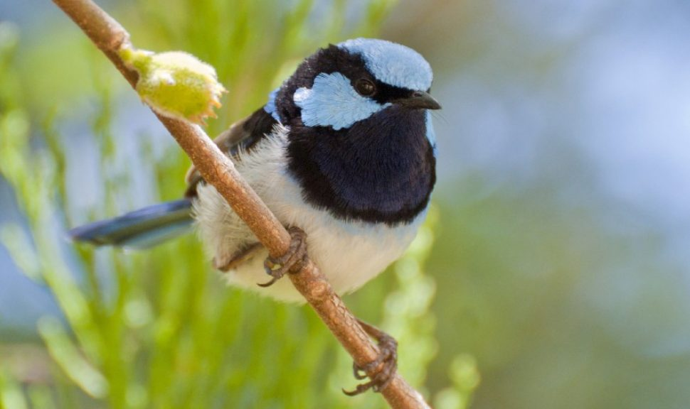 Superb-Fairy-Wren-Malurus-Cyaneus