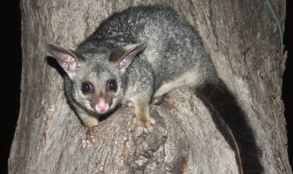 Common-Brushtail-Possum-Trichosurus-Vulpecula