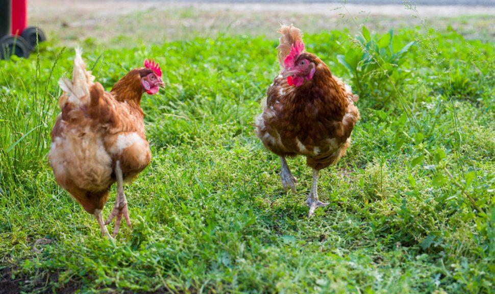 Grampians-Eco-Yha-Chickens